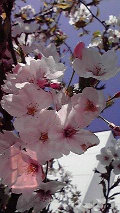 春の光と桜