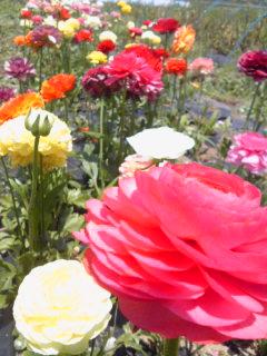 ラナン開花中